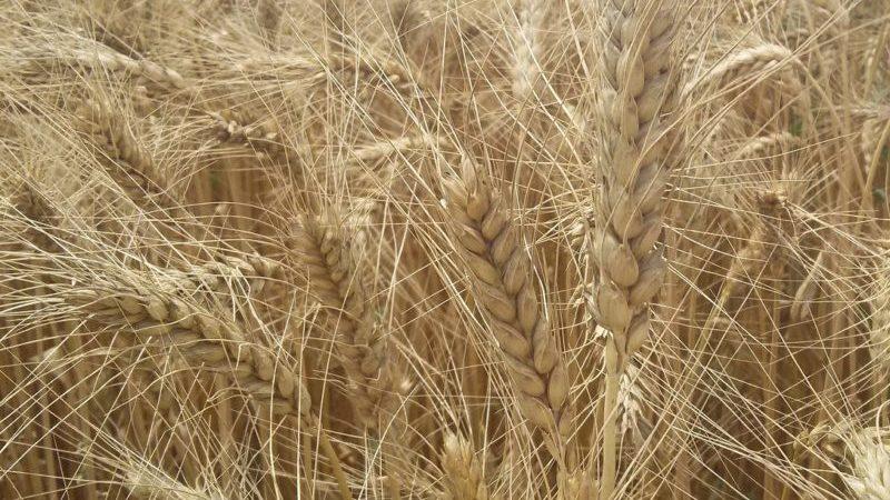 Описание сорта и характеристики озимой пшеницы Ермак