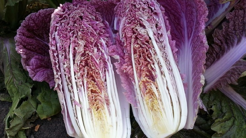 Китайская капуста: описание, фото, выращивание и хранение