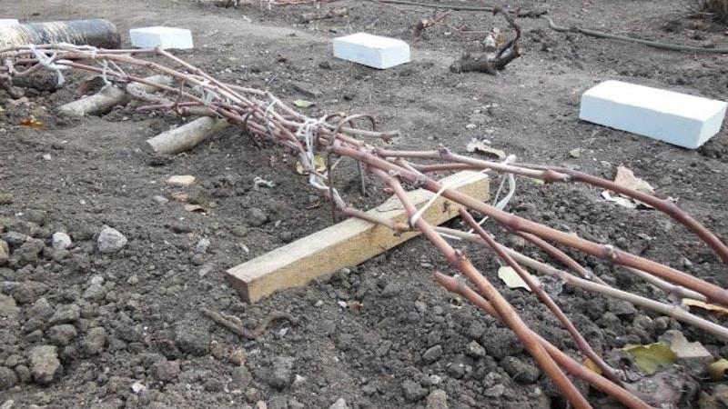 Пошаговая инструкция: как правильно укрыть виноград на зиму