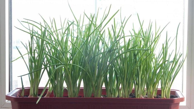 Пошаговая инструкция по выгонке лука на зелень в домашних условиях и на участке