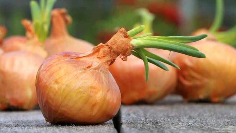 Подробная инструкция: как вырастить лук от А до Я