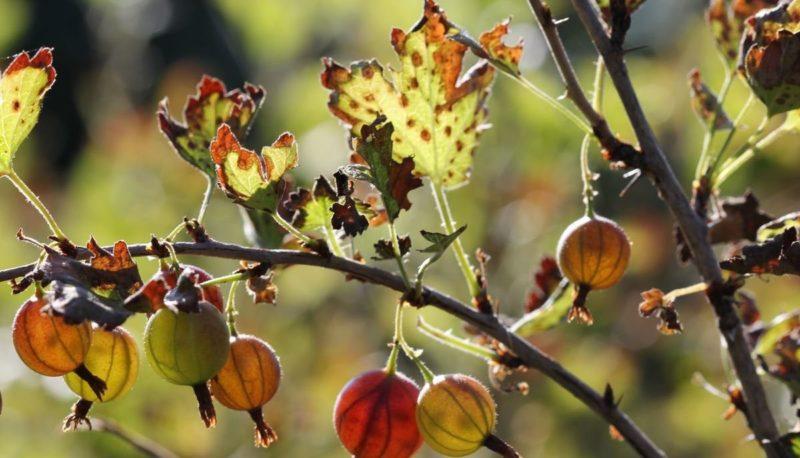 Почему опадают листья у крыжовника и как с этим бороться
