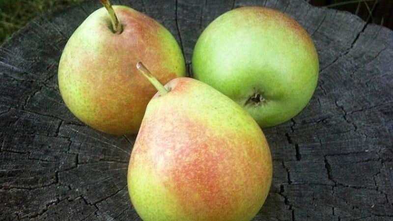 """Высокоурожайный устойчивый сорт груши """"Елена"""""""