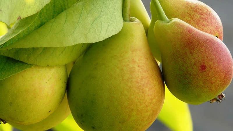 """Неприхотливый высокоурожайный сорт груши """"Виктория"""""""