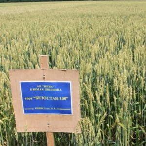 Озимый сорт пшеницы Безостая 100: характеристика и описание