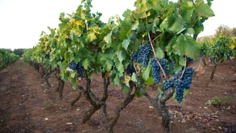 """Раннеспелый темнокожий сорт винограда """"Примитиво"""""""