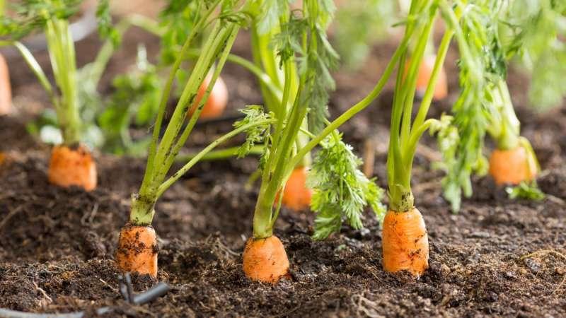 Разбираем строение корневой системы моркови - в чем ее особенности