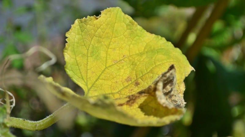 Как быть и что делать, если вянут листья огурцов в теплице: рецепты для обработки