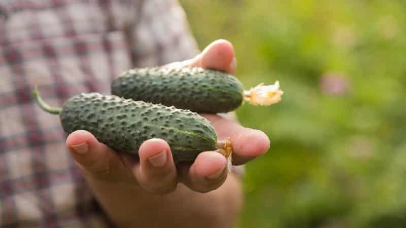 Выбираем самоопыляемые сорта огурцов для теплицы, устойчивые к болезням