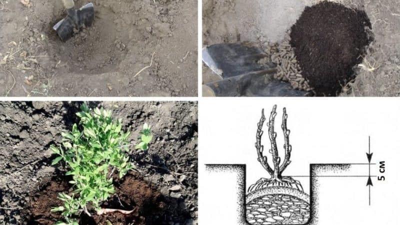 Выращивание жимолости каприфоль: посадка, уход, размножение