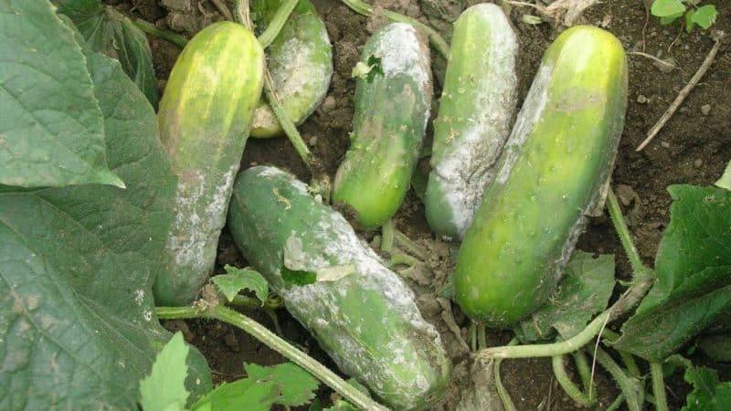 Йод и зеленка спешат на помощь: секреты обработки огурцов для лучшего урожая