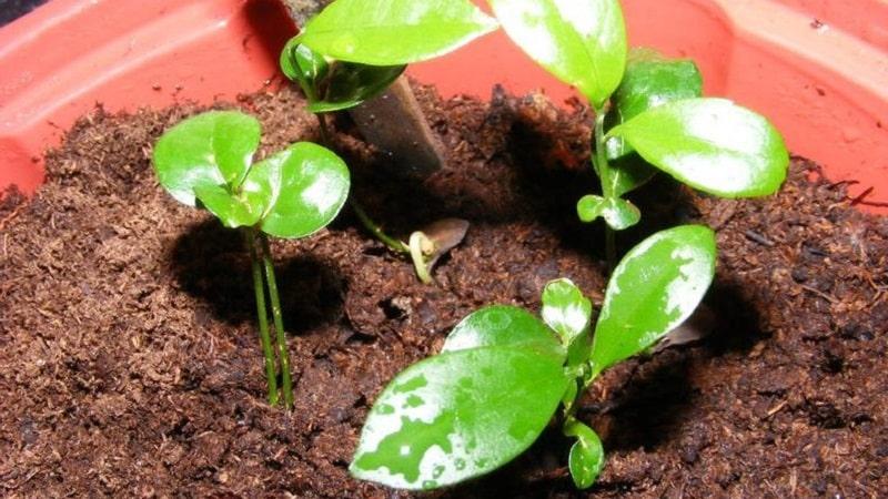 Пошаговое руководство: как посадить апельсин из косточки в домашних условиях