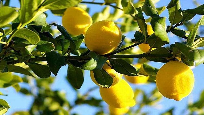 Все о лимоне - овощ это, ягода или фрукт