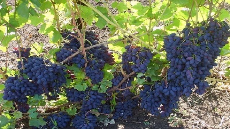 Ранний молдавский сорт винограда Кодрянка с крупными, вкусными ягодами