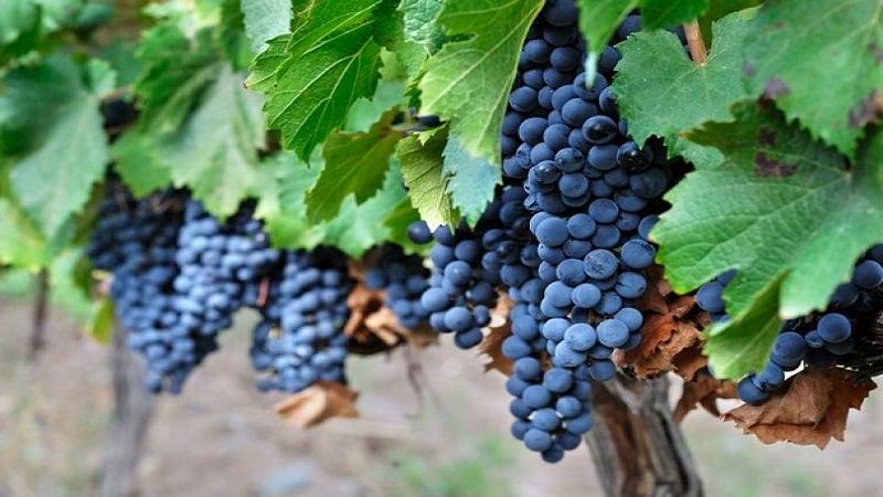 Знаменитый винный сорт винограда Мальбек