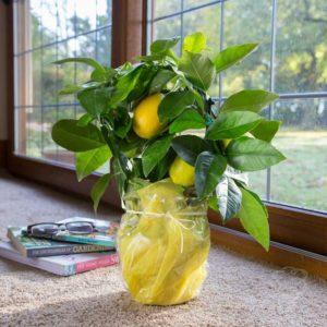 Причины опадения листьев лимона  пошаговая инструкция по спасению
