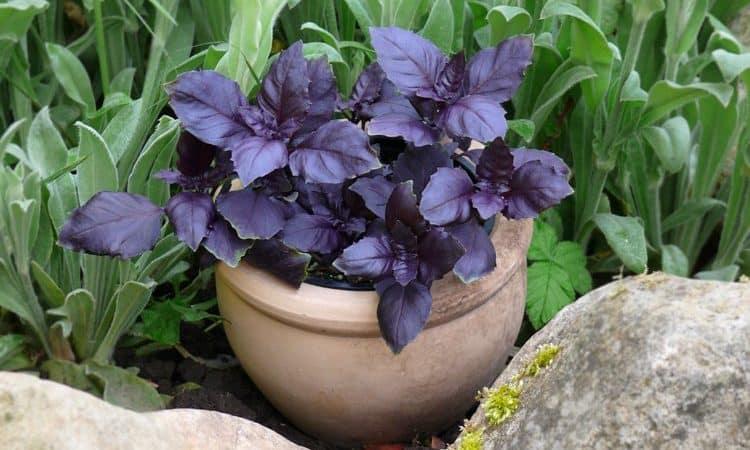 """Обзор овощного сорта фиолетового базилика """"Арарат"""""""