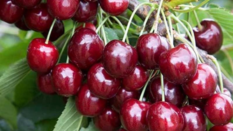 """Урожайный и стойкий к заболеваниям сорт черешни """"Регина"""""""