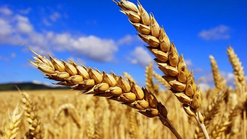 В чем отличия пшеницы, ржи, овса и ячменя: фото и сравнительная характеристика