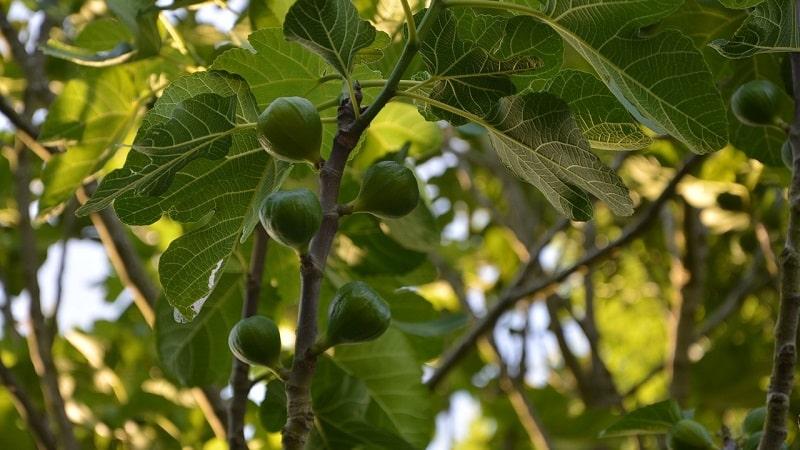 Что такое инжир и чем примечательно фиговое дерево