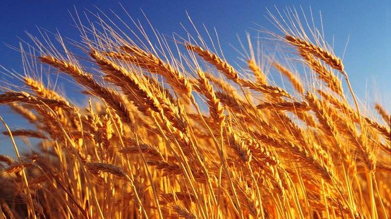 Пшеница обыкновенная — Triticum vulgare L.