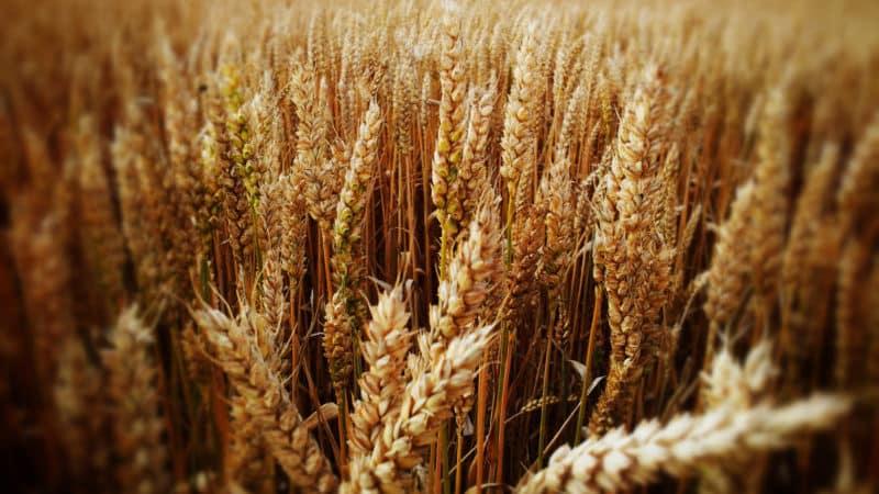 Что такое пшеница, к какому семейству относится – полная характеристика