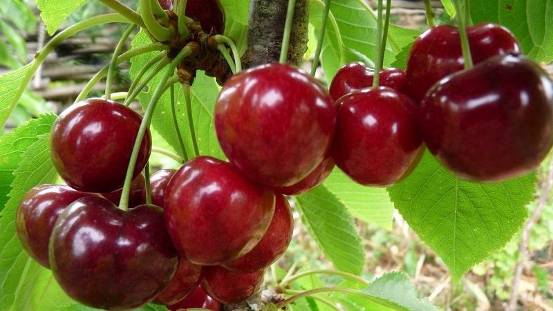 """Характеристика и описание черешни """"Овстуженка"""" с крупными ягодами и отменным вкусом"""