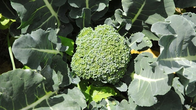Высокоурожайный среднеспелый гибрид капусты брокколи Фиеста f1