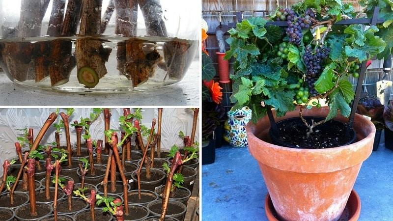 Как посадить и вырастить виноград на балконе