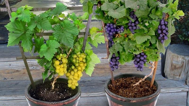 Как посадить и вырастить виноград в домашних условиях
