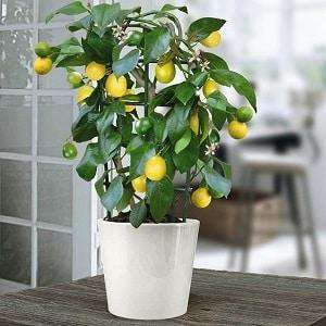 Как правильно привить лимон в домашних условиях, чтобы он не болел и плодоносил