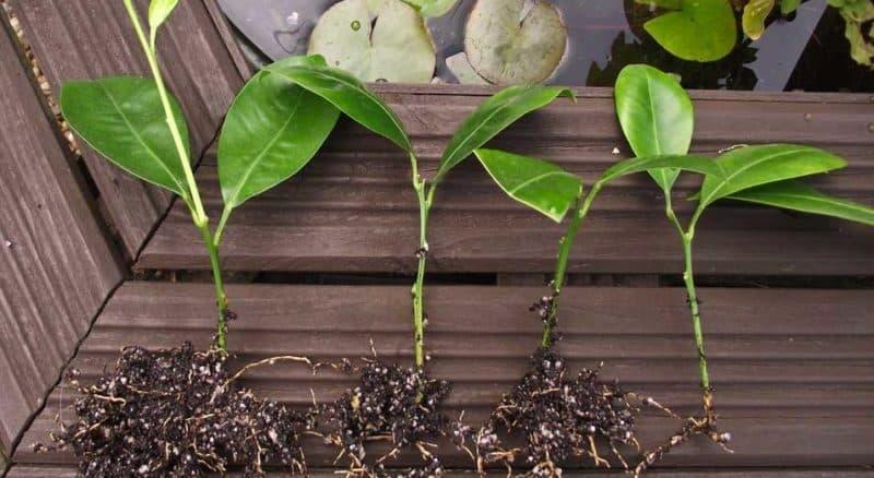 Как вырастить мандариновое дерево в домашних условиях: правила ухода