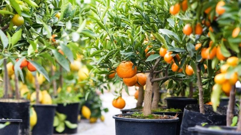Какой грунт подойдет для мандарина в домашних условиях