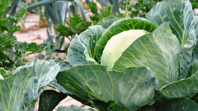 Раннеспелый гибрид капусты Этма f1 с отличным вкусом