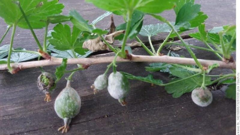 Чем можно обработать крыжовник от белого налета на ягодах и в чем причина его появления