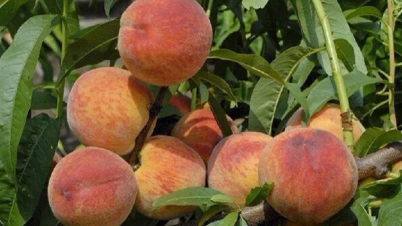 Лучшие сорта персика для Подмосковья