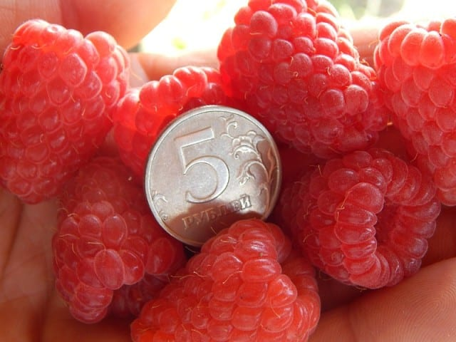 Крупноплодная малина лучшие сорта: посадка и уход