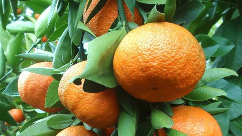 """Выращивание мандарина сорта """"Уншиу"""" в домашних условиях"""