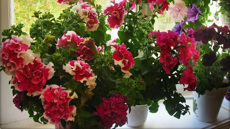 Будет ли цвести петуния дома зимой