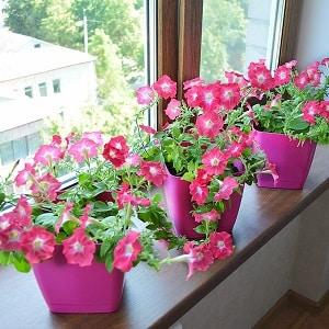 Можно ли выращивать петунию в горшке как комнатное растение