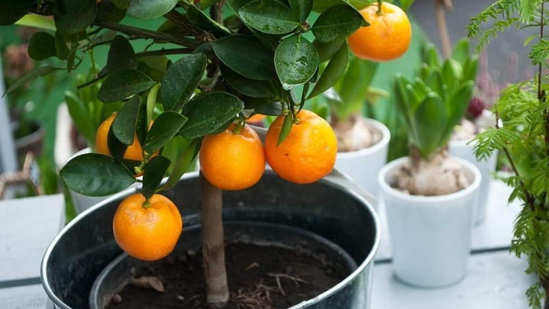 Можно ли вырастить апельсин из косточки и как это сделать в домашних условиях