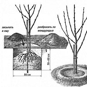 Надежный и пригодный для выращивания в суровом климате сорт черешни Ленинградская черная