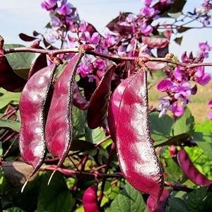 Особенности выращивания и применения гиацинтовых бобов