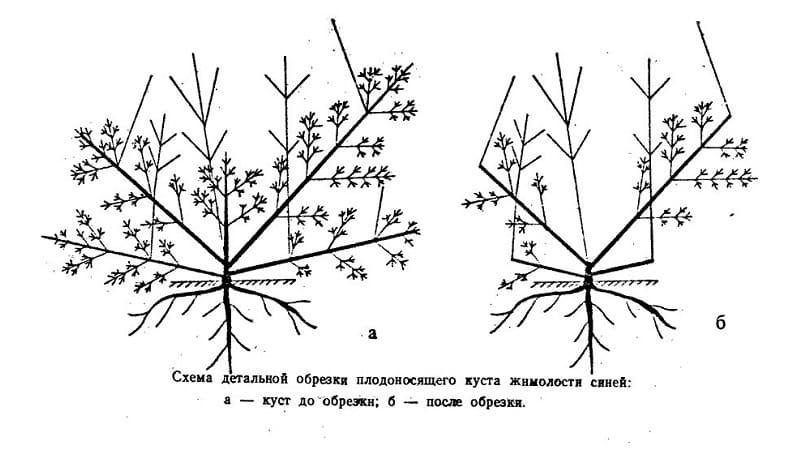 Особенности выращивания жимолости в Крыму