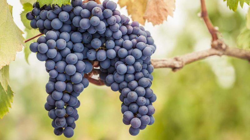 "Белый сорт винограда ""Пино гриджио"""
