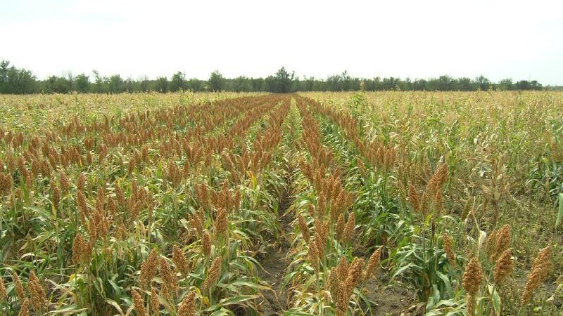 Поэтапная технология выращивания сорго от подготовки семян до сбора урожая