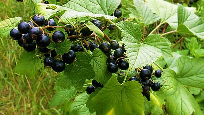 Правила севооборота в саду: что можно посадить рядом с черной смородиной