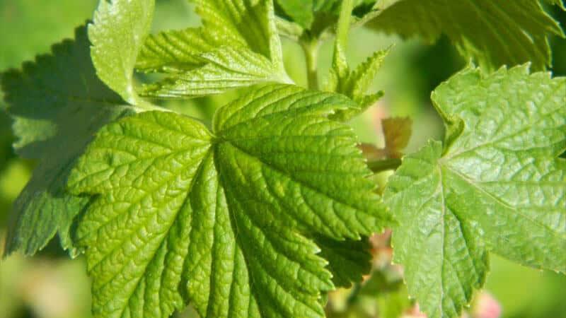 Листья черной смородины - полезные и лечебные свойства
