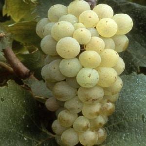 """Популярный вкусный сорт винограда """"Алиготе"""""""