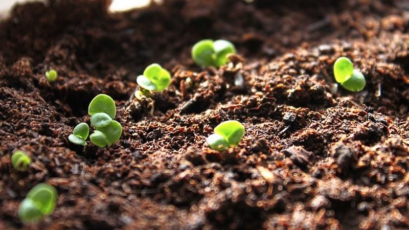 Посадка, выращивание, уход в открытом грунте и размножение базилика